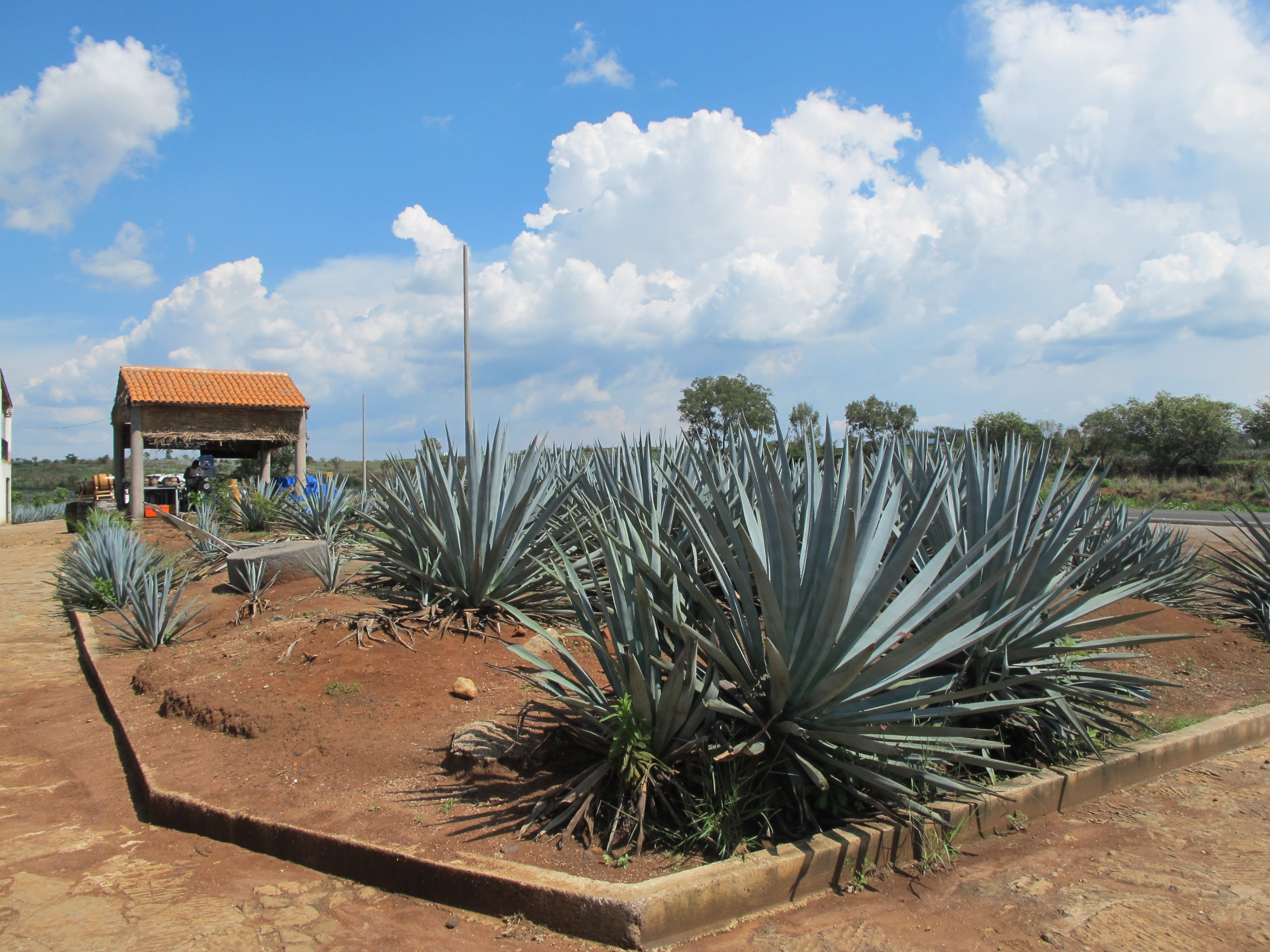 Plantations d'agaves à Tequila, Jalisco, Mexique