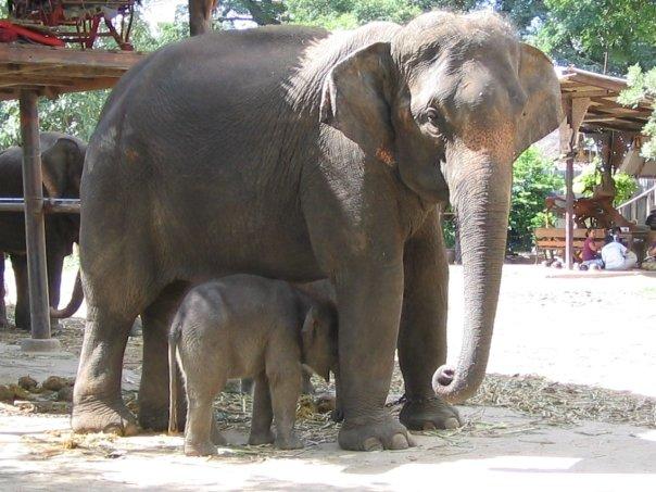 Photo d'une maman éléphant et de son bébé dans une ferme à proximité d'Ayutthaya