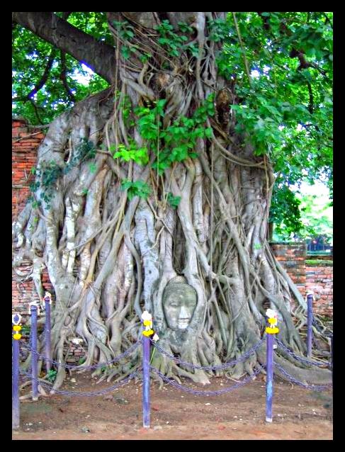 Tête de Bouddha/buddha incrustée dans les racines d'un arbre
