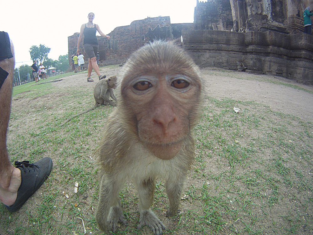 Portrait d'un macaque, Lopburi Monkey face